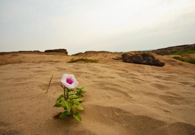flower-in-desert-panya-jampatong